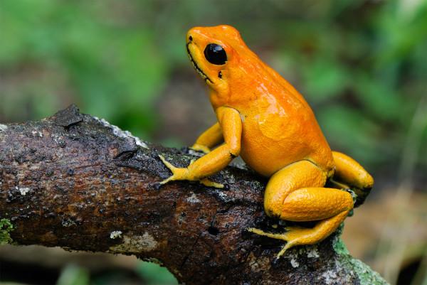 金色箭毒蛙(Phyllobates terribilis)