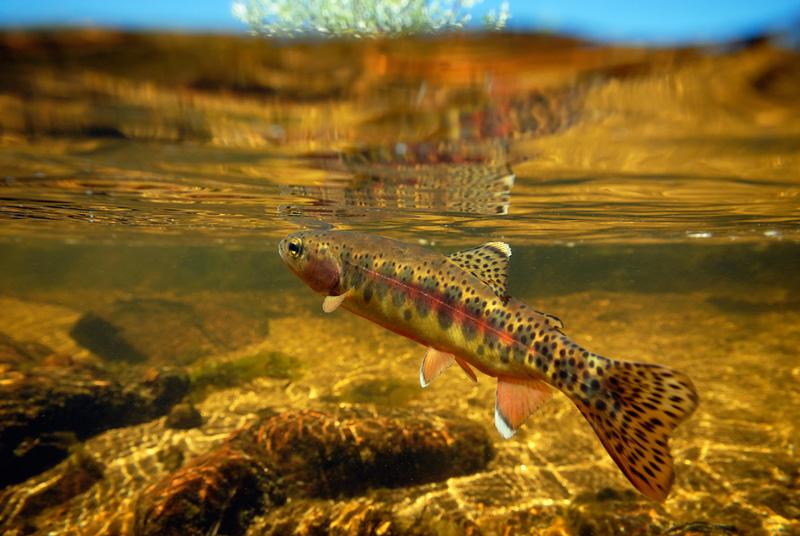 加州金黄鳟鱼(Oncorhynchus mykiss aguabonita)
