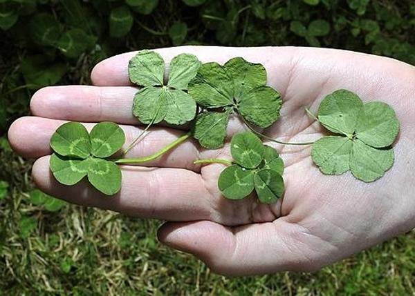 澳洲悉尼妇人在自家前院摘到21株四叶草