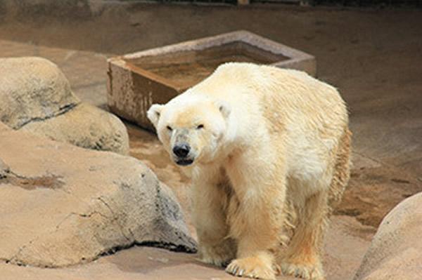 """心碎的非洲最后北极熊""""王"""""""