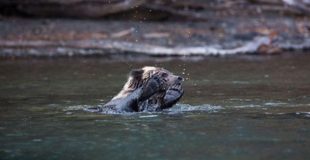 小灰熊悠闲平躺水面似动画角色