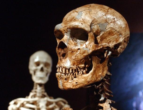 纽约自然历史博物馆展出尼安德特人的骨架,左为现代人骨架。