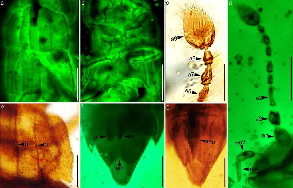 铠甲详细特征:a, b激光共聚焦显微镜;d, f荧光显微镜;c, e, g生物显微镜