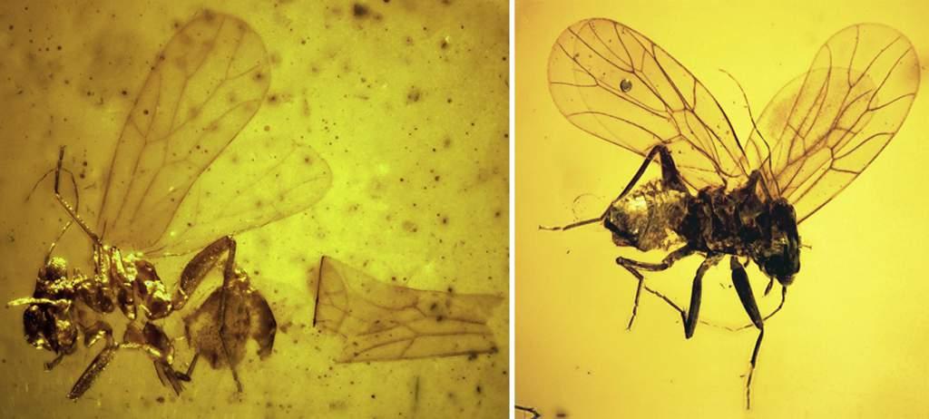 最早厚啮科啮虫:Burmipachytrocta singularis Azar et al., 2014(左)Atapinella garroustei Az