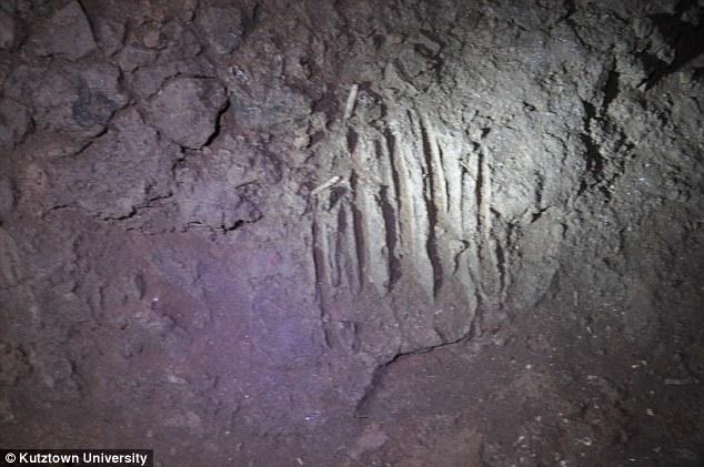 出土洞熊化石的放射性碳测量表明这些早期人类足迹距今36500年前。这是洞熊化石在洞穴的墙壁上。