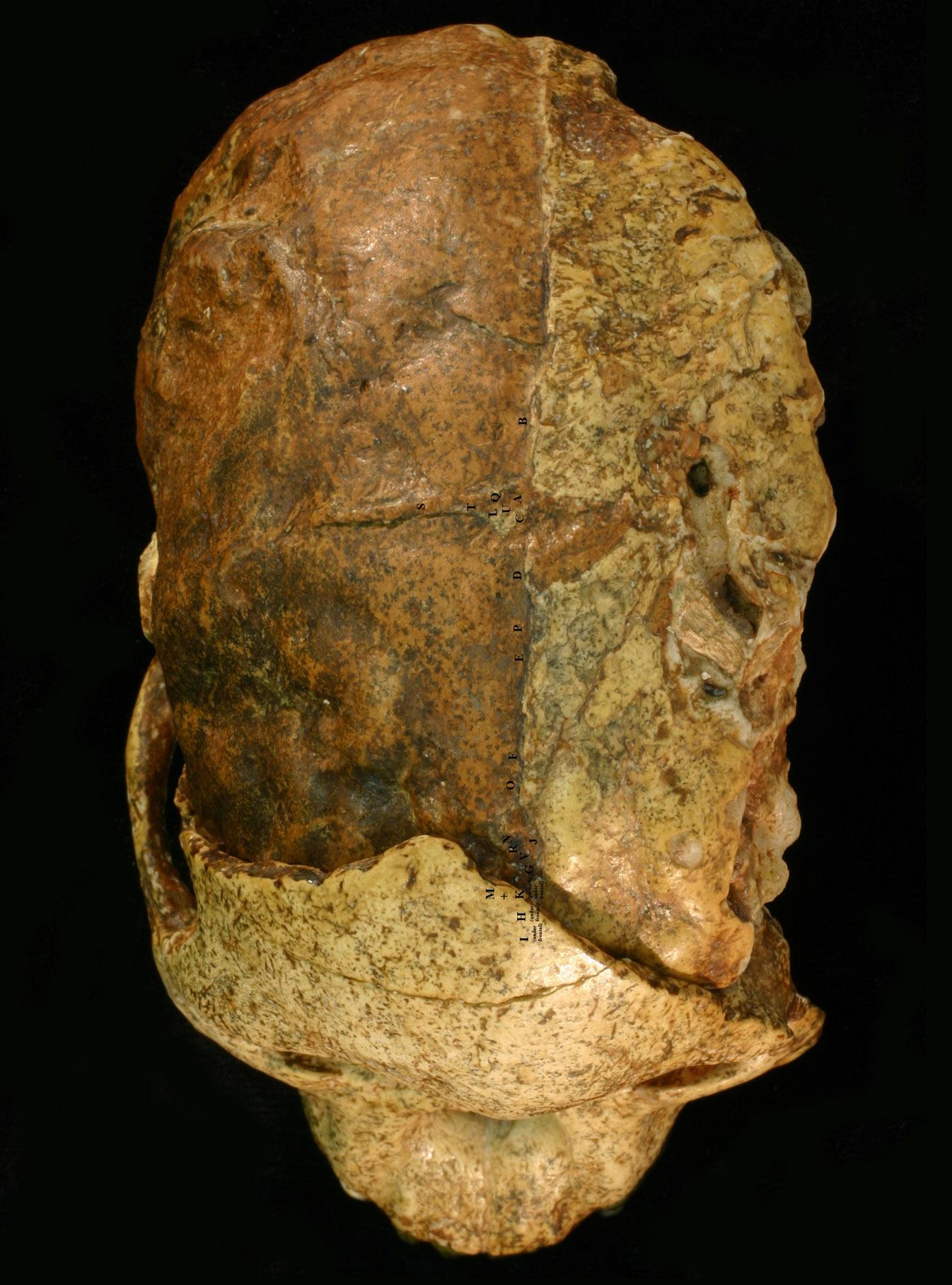 汤恩小孩头骨的进化与结构特征