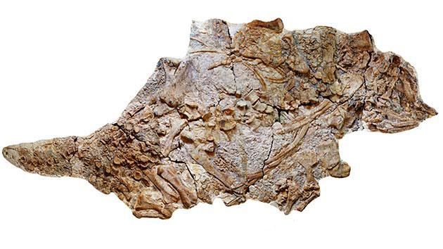 中国辽西早白垩世一新的大型甲龙类——朝阳传奇龙(Chuanqilong chaoyangensis)