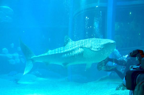 """日本大阪市水族馆""""海游馆""""迎来高知县的鲸鲨"""