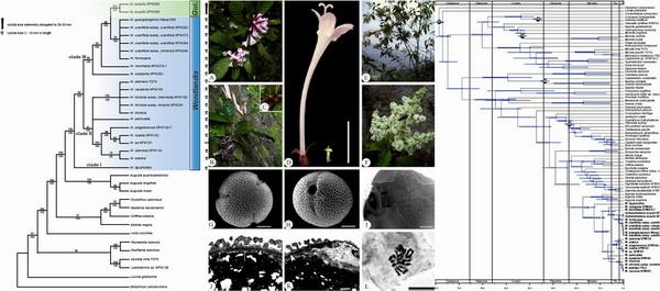 茜草科植物—桂海木部分研究结果