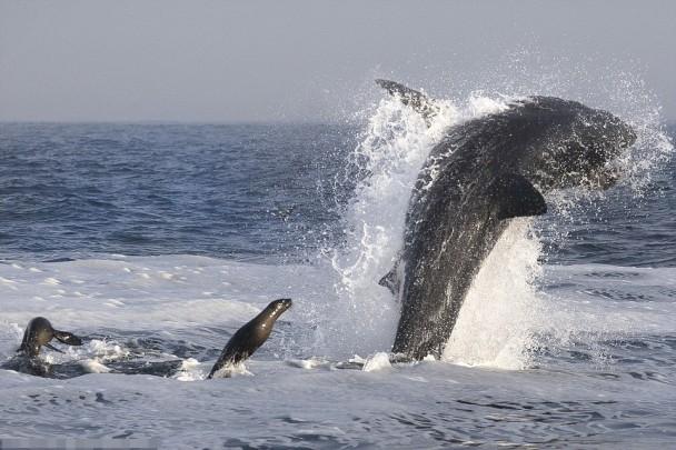 小海豹游到大白鲨尾部巧妙地避过攻击