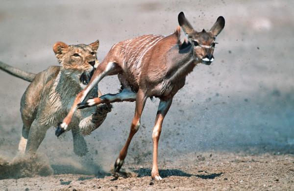 在纳米比亚,一只母狮追逐着一头大扭角条纹羚。本文所描述的情境与这个画面很类似。 Photograph by Martin Harvey, Gallo Image
