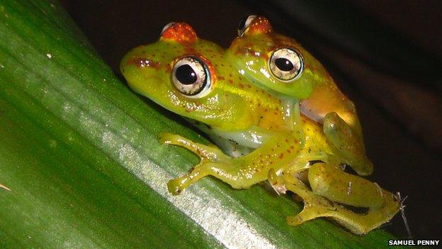 非洲马达加斯加小岛发现56只新品种树蛙Boophis ankarafensis