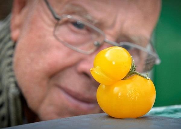 英国温室出现小黄鸭?原来竟然是蕃茄