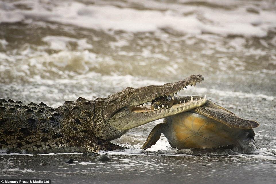 哥斯达黎加国家公园拍下巨鳄噬海龟的骇人一幕