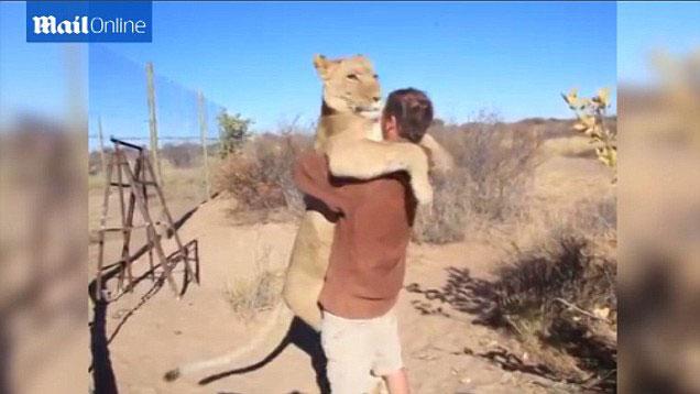 非洲博茨瓦纳一只雌狮一见到抚养者就热情地扑上去拥抱