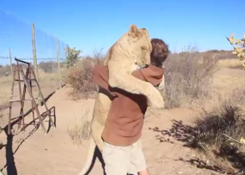 非洲博茨瓦纳一只母狮子看到保育员会撒娇