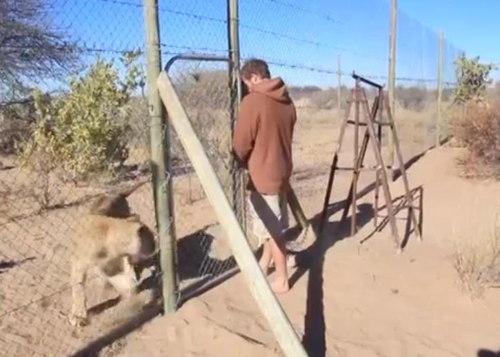 斯尔加等待格吕纳打开狮笼时不断来回踱步,焦急万分。