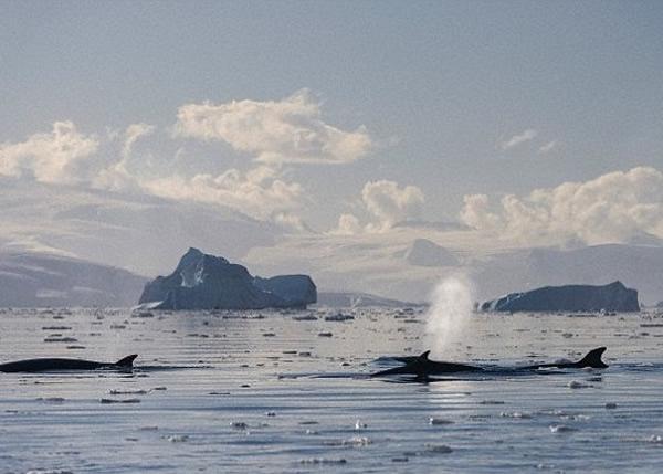 鲸鱼及海豚近期频频被发现,因为观赏船而受惊。