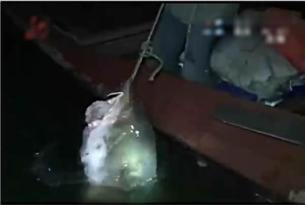 鳇鱼被放回江中