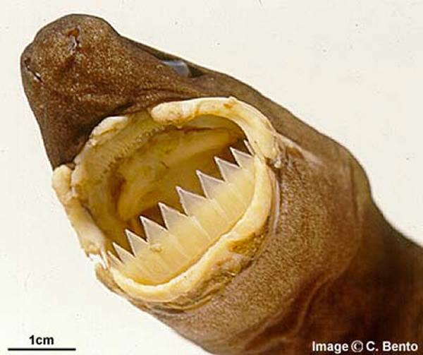 怪异达摩鲨一脸无辜搞突袭