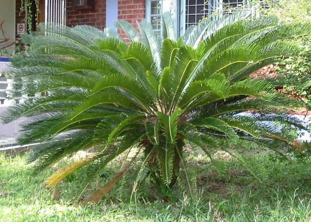 苏铁目为全球最古老的种子植物