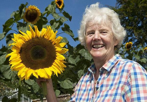 """英国老太呕心沥血30年培植出一种巨型向日葵""""长颈鹿"""""""