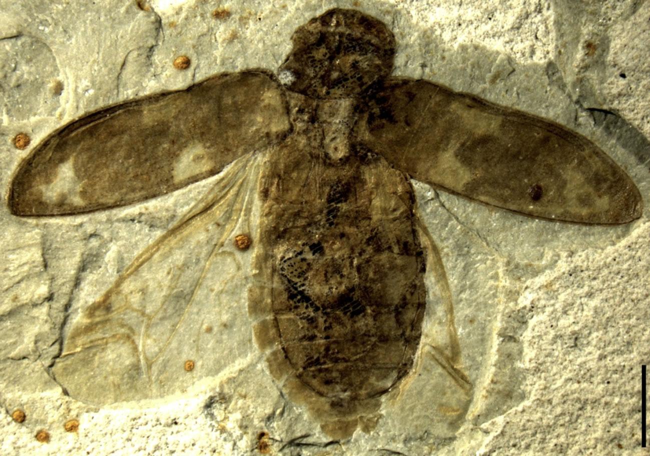最古老伪吉丁化石
