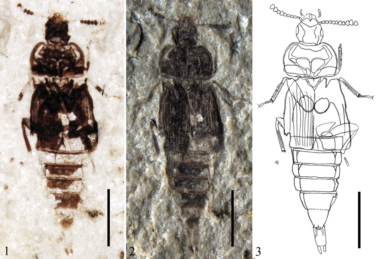 原始侏罗纪隐翅虫