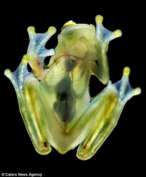 弗莱希曼玻璃蛙是中、南美洲雾林里土生土长的动物。它的十分鲜艳的绿色透明皮肤和体内的重要器官均清晰可见