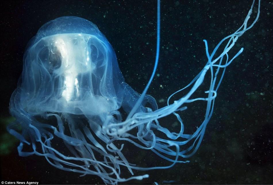 这只箱水母是由凝胶状物质组成的,这有助于它更好地融入水环境。在水里,这种物质主要具有抗压作用,动物才能在深海的高压环境下幸存下来,不过凝胶状物质又有足够的浮力,