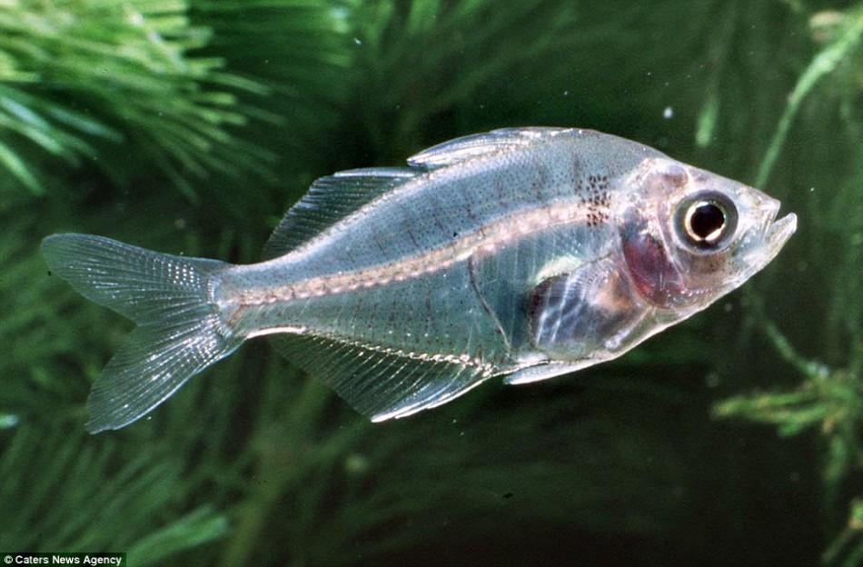 透明性常见于远洋动物,即那些生活在海洋或者是湖泊里的动物。这种动物的大小不一,最小的只有一英寸长,最大的比一个篮球还要大。如果你仔细观察,有可能会看到这只玻璃鱼
