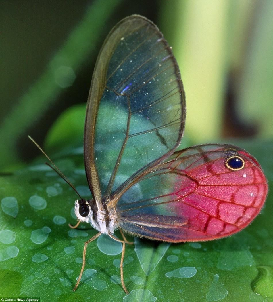 一位摄影师拍摄到一只玻璃翼蝴蝶,在厄瓜多尔发现它时,它正趴在一片树叶上休息。很多蝴蝶都有透明的翅膀,但是透明的身体在生活在海洋和湖泊里的动物中间更常见。