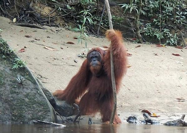 印尼一只婆罗洲猩猩懂得用树枝量度河的水深才过河