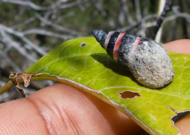 中国发现最大的乌龟_数年前被宣布绝种的塞舌尔蜗牛再度现身