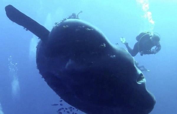 地中海偶遇巨型翻车鱼