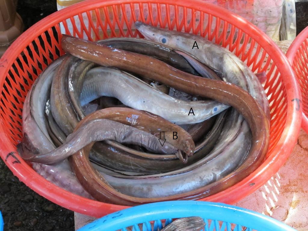 渔市场的盲鳗经常与各种鳗混在同一个篮子中。盲鳗是食物链中的分解者角色(腐食者),另外两种则是消费者角色。 (箭头:盲鳗;A:海鳗科灰海鳗;B:鯙科长鯙);图片: