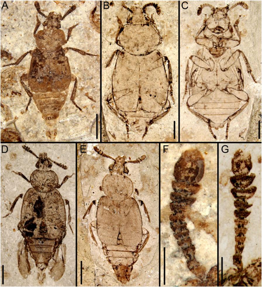 中侏罗世道虎沟生物群中的葬甲化石