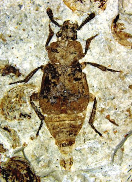 在内蒙古发现的葬甲虫化石