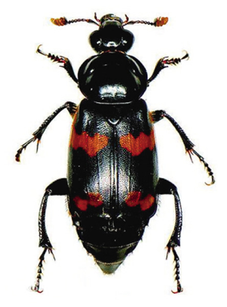 葬甲虫实虫