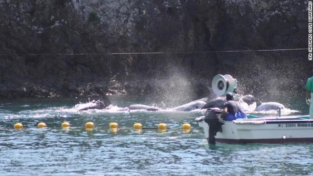 """日本和歌山县太地町进入长达6个月的""""捕豚季"""""""