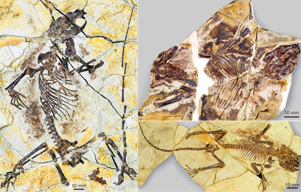 """保存完好的化石,其属于一类已经灭绝的种属""""贼兽"""",此前科学家们对其了解仅停留在少量不完整的下颌骨和牙齿。本图展示的是此次命名的一个种:陆氏神兽,其属于真贼兽分支"""