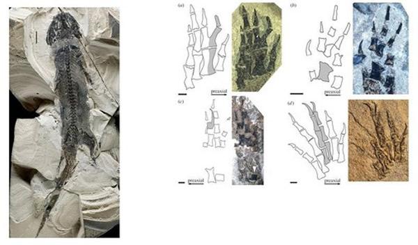 德国3亿年前化石发现肢体再生的最早证据