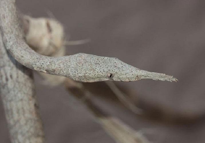 马达加斯加叶吻蛇