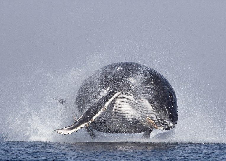 南非鲸鱼水中跃起挥动鱼鳍似打招呼