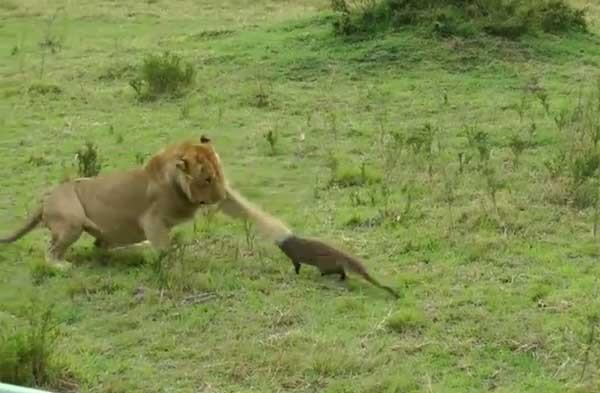 非洲草原一只猫鼬吓退四头狮子