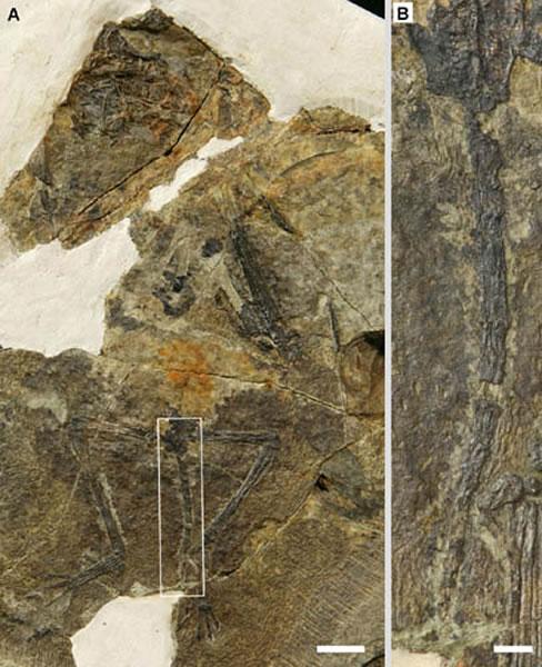 蛙嘴翼龙化石(A)及尾部放大(B),比例尺为10 mm和2 mm
