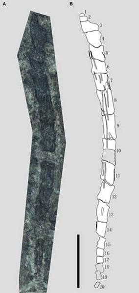 蛙嘴翼龙长尾及其线条图,比例尺为5 mm