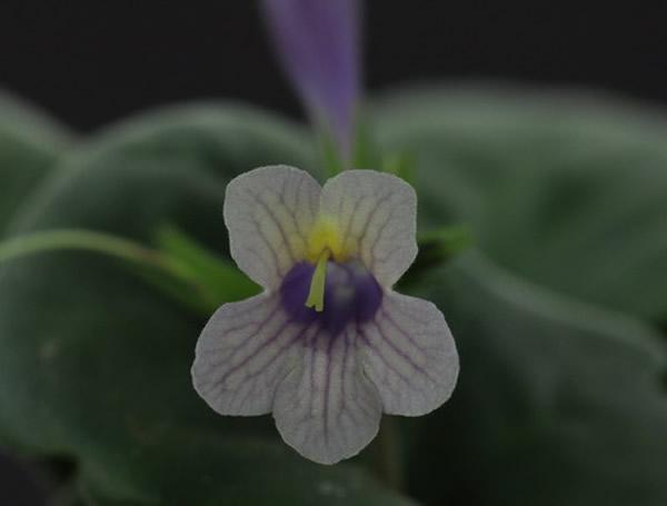 新品种—紫霞2