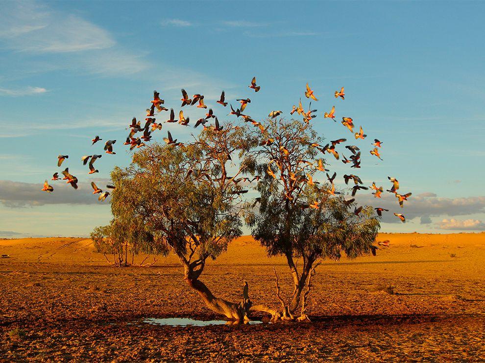 澳洲的斯特札雷奇沙漠梦幻之树