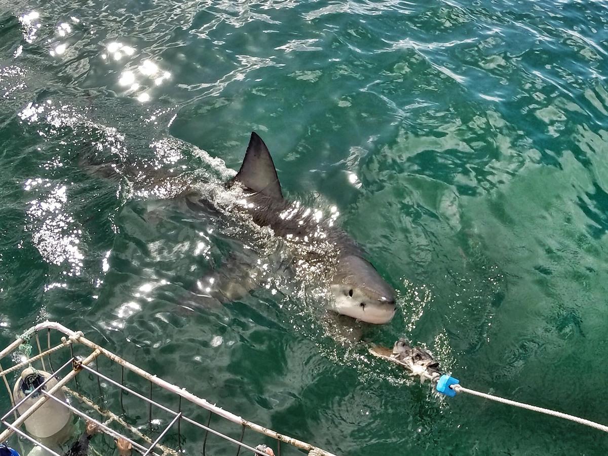 美国女摄影师拍到大白鲨张血盆大口的震撼特写